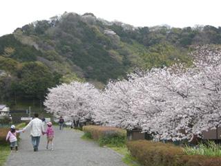 Satumadote_sakura_201104